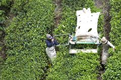 Workers Harvesting Tea Leaves Stock Images