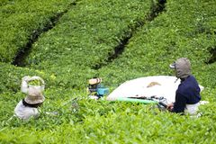 Workers Harvesting Tea Leaves Stock Photo