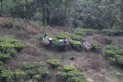 Workers harvesting tea leaves Royalty Free Stock Images