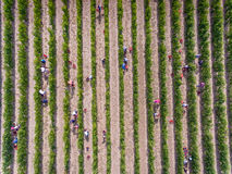 Workers harvesting in vineyard, aerial view from above Stock Photo