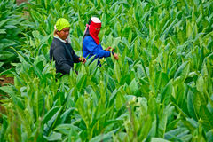 Workers havest tobacco leaves in thailand Stock Image