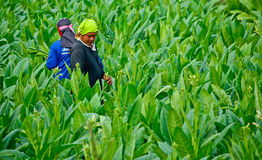Workers havest tobacco leaves in thailand Royalty Free Stock Images