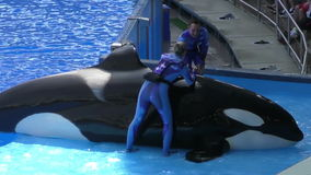Workers help a captive orca in orlando. Orlando, USA - March 26, 2015: Aquarium workers attend to a killer whale before show in Orlando, Florida on March 26 stock footage