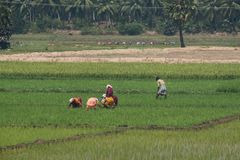 Workers in an Indian paddy field Royalty Free Stock Photo