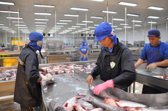 Workers are killing pangasius catfish before transfering them to the next processing line in a seafood factory in the Mekong delta Royalty Free Stock Images