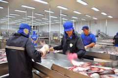 Workers are killing pangasius catfish before transfering them to the next processing line in a seafood factory in the Mekong delta Royalty Free Stock Photography