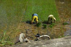 Workers on a paddy field in Vietnam rice bowl Royalty Free Stock Photo