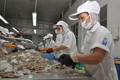 Workers are peeling fresh raw shrimps in a seafood factory in Quy Nhon city, Vietnam. QUY NHON, VIETNAM - AUGUST 1, 2012: Workers are peeling fresh raw shrimps Royalty Free Stock Image