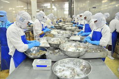 Workers are peeling and processing fresh raw shrimps in a seafood factory in the Mekong delta of Vietnam Stock Photography