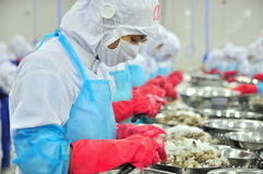 Workers are peeling and processing fresh raw shrimps in a seafood factory in Vietnam. PHAN RANG, VIETNAM - DECEMBER 29, 2014: Workers are peeling and processing Royalty Free Stock Photography