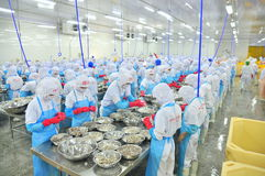 Workers are peeling and processing fresh raw shrimps in a seafood factory in Vietnam. PHAN RANG, VIETNAM - DECEMBER 29, 2014: Workers are peeling and processing Royalty Free Stock Photo