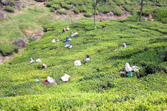 Workers picking tea leaves in a tea plantation Royalty Free Stock Photography