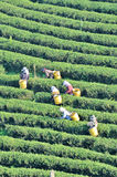 Workers picking tea leaves in a tea plantation Stock Photography