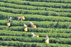 Workers picking tea leaves in tea plantation Royalty Free Stock Photography
