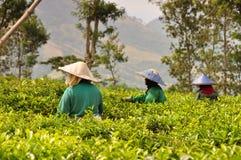Workers picking tea leaves. Women picking tea leaves at Wonosari tea plantation on Java, Indonesia stock image