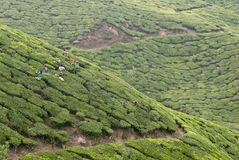 Workers picking up tea leaves Stock Photography
