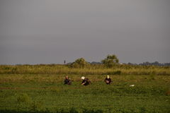 Workers on the plantation manually pull out the weeds. Workers in the field working royalty free stock image