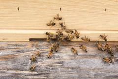 Workers with pollen at hive entrance Royalty Free Stock Photo