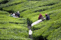 Workers Preparing to Harvest Tea Leaves royalty free stock photos