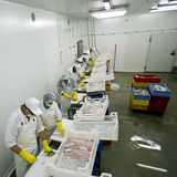 Workers processing fish. Room of workers manually, cleaning, filleting, and processing fresh fish Royalty Free Stock Image