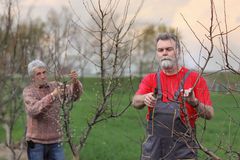 Workers pruning tree in orchard, agriculture Stock Photography