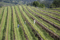 Workers pruning wine grapes in vineyard in Napa Va Stock Photography