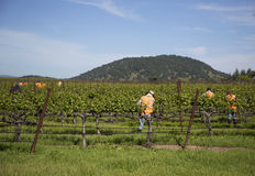 Workers pruning wine grapes in vineyard Royalty Free Stock Image