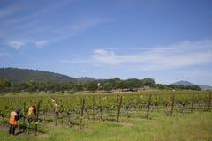 Workers pruning wine grapes in vineyard Stock Image
