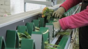 Workers are putting bunches of flovers to the conveyor on factory, close up. Two people are taking bouquettes with yellow roses and placing them into green stock video footage