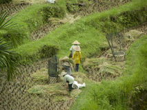 Workers in the rice field Stock Images