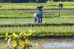 Workers at Rice Field Royalty Free Stock Image
