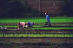 Workers on Rice Field. Two women and a man working on a rice field Stock Image