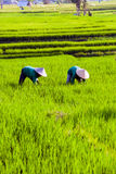 Workers on rice fields, Bali, Indonesia Stock Photos