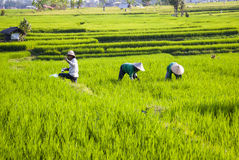 Workers on rice fields, Bali, Indonesia Royalty Free Stock Images