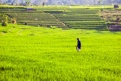 Workers on rice fields, Bali, Indonesia Stock Images
