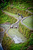 Workers in rice paddies at ifugao,batadworkers pla. Workers planting rice in the paddy fields at ifugao,batad,philippines Royalty Free Stock Images