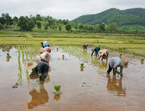 Workers in rice paddy. Thai farmers  in rice paddy Royalty Free Stock Images
