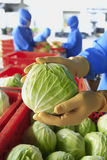 Workers selected cabbage. Professional Hand workers selected cabbage Stock Photo