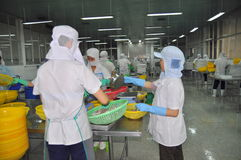 Workers are selecting octopus to put to the freezing machine in a seafood factory in Vietnam Stock Photos