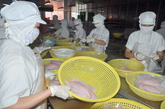 Workers are selecting pangasius fillet to put to the freezing machine in a seafood factory in Vietnam Stock Photography