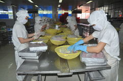 Workers are selecting pangasius fillet to put to the freezing machine in a seafood factory in Vietnam Royalty Free Stock Images