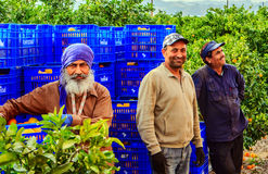 Workers in Spanish orchards. Three guest workers in Spanish orchards where oranges and tangerines are being harvested, background of blue plastic boxes for Royalty Free Stock Images
