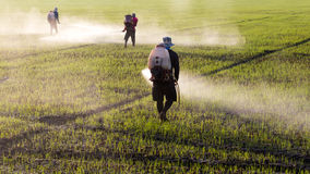 Workers spraying herbicides. Workers employed farmers are helping to make a spraying herbicides in paddy morning stock photos