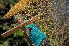 Workers spread maize crop for drying at a wholesale grain market. Maize in Bangladesh at most Third important cereal after rice and wheat. New crop: 3100 ha in Royalty Free Stock Photo