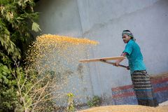 Workers spread maize crop for drying at a wholesale grain market. Maize in Bangladesh at most Third important cereal after rice and wheat. New crop: 3100 ha in Royalty Free Stock Images