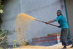 Workers spread maize crop for drying at a wholesale grain market. Maize in Bangladesh at most Third important cereal after rice and wheat. New crop: 3100 ha in Stock Images