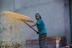 Workers spread maize crop for drying at a wholesale grain market. Maize in Bangladesh at most Third important cereal after rice and wheat. New crop: 3100 ha in Stock Photos