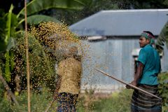 Workers spread maize crop for drying at a wholesale grain market. Maize in Bangladesh at most Third important cereal after rice and wheat. New crop: 3100 ha in Stock Photo