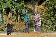 Workers spread maize crop for drying at a wholesale grain market. Maize in Bangladesh at most Third important cereal after rice and wheat. New crop: 3100 ha in Royalty Free Stock Image