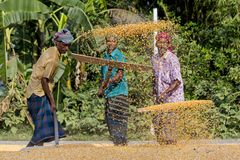 Workers spread maize crop for drying at a wholesale grain market. Maize in Bangladesh at most Third important cereal after rice and wheat. New crop: 3100 ha in Royalty Free Stock Photography
